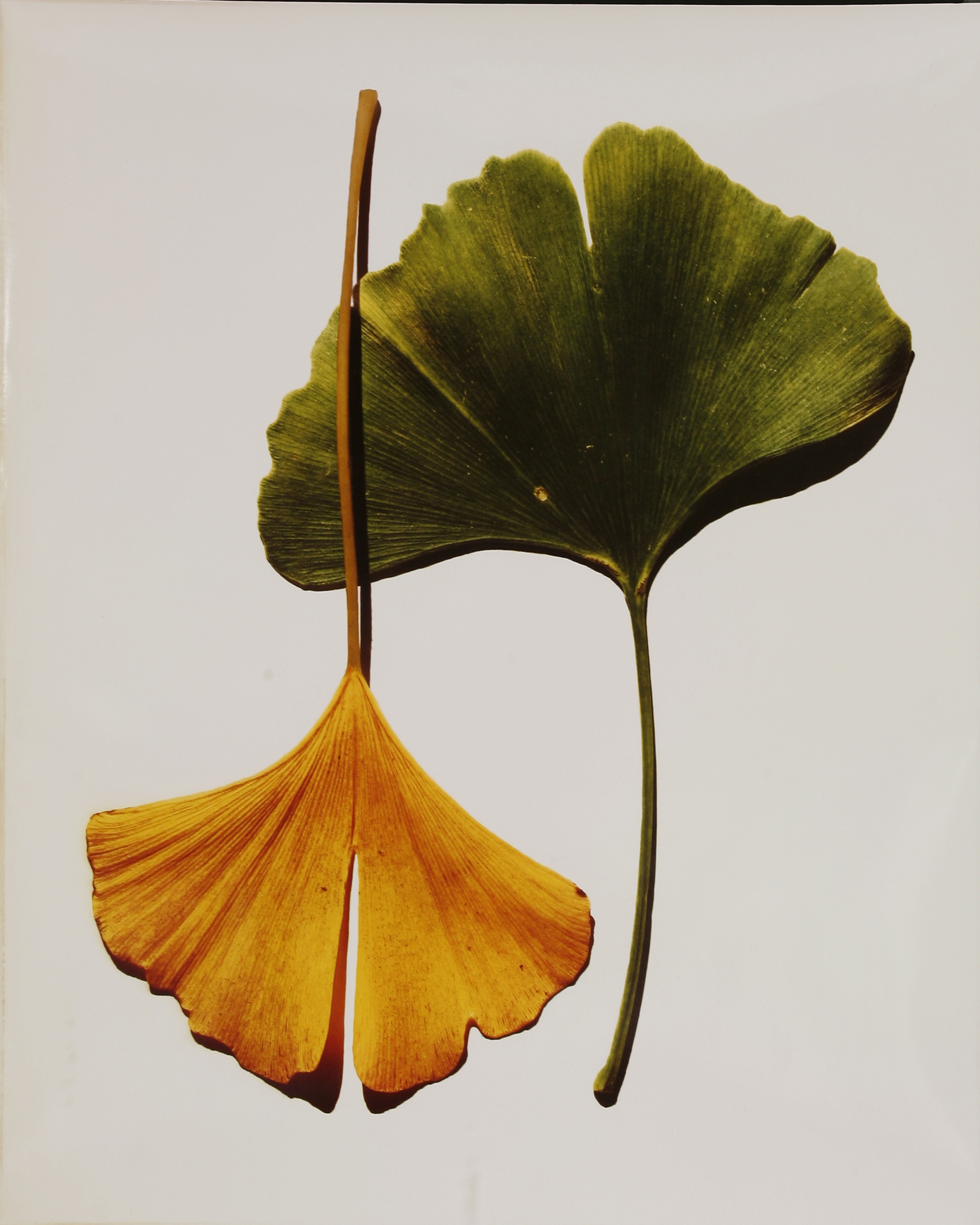 Irving Penn print - 'Gingko Leaves'
