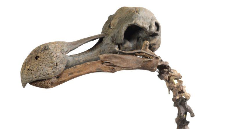 Skeleton head of a Dodo