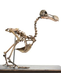 The skeleton of a Dodo