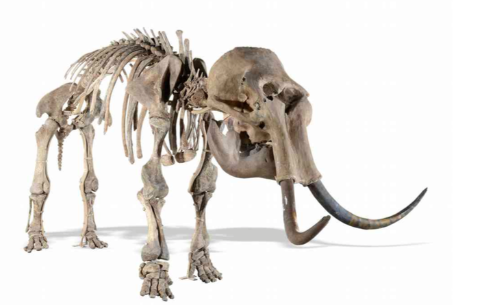 Skeleton of woolly mammoth