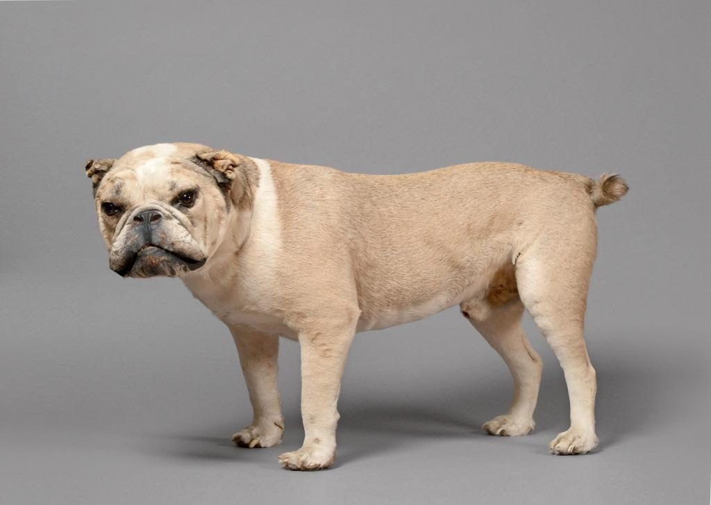 Antique taxidermy Bulldog