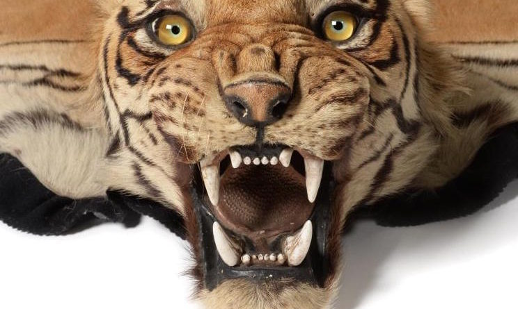 Taxidermy tiger skin