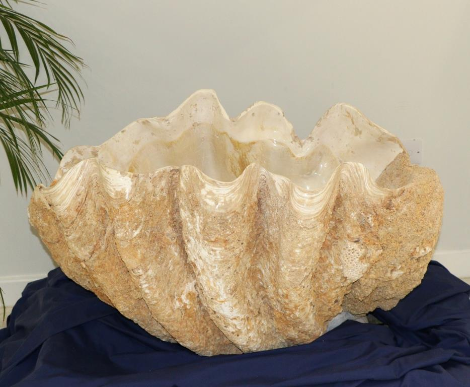 ancient giant clam
